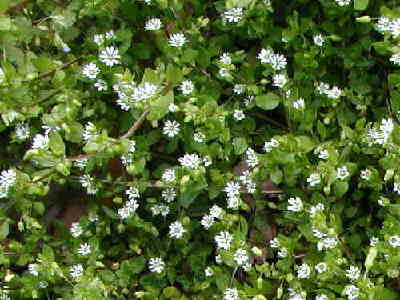 Garden pests and diseasesweeds with tiny white flowers everywhere httpinspirezonehikingchickweedg mightylinksfo
