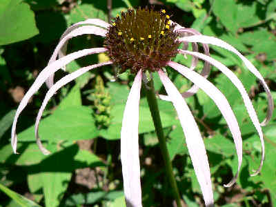 Smooth Coneflower